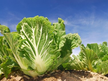 Wombok / Chinese Cabbage